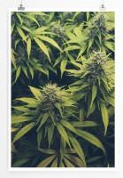 Poster Cannabis Plantage