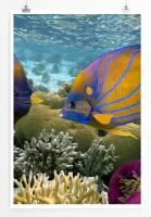 Poster Zwei gestreifte bunte Fische