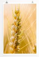 Poster Weizen in Nahaufnahme