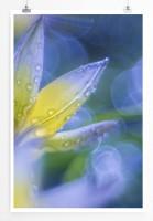 Poster lila Tulpe