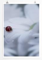 Poster Marienkäfer auf weißem Blütenblatt
