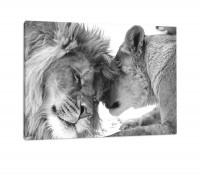 Löwenpaar in Afrika in der Savanne! schwarz | weiß