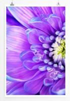 Poster Lila Blaue Gerbera Blüte