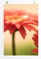 Poster Rote Gerbera Blumen