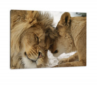 Schönes bezauberndes kuschelndes Löwenpaar in Afrika in der Savanne! Farbe