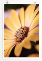 Poster Gelbes Gänseblümchen